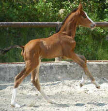 Colt by Shavalou x Maestro