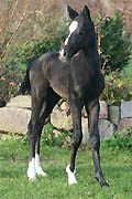 Trakehner colt by Kostolany out of Aida by Kalif, at the age of 3 days; picture: Ulrike Sahm