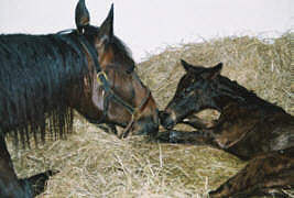 Filly by Summertime - Embryo transfer